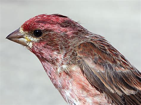 purple house finch dan tallman s bird blog purple vs house finch