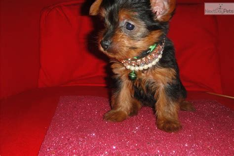yorkie puppies ct dogs and puppies for sale and adoption oodle marketplace