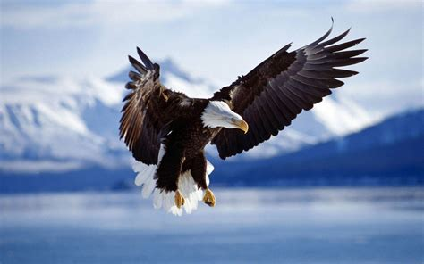 eagles background free bald eagle wallpapers wallpaper cave