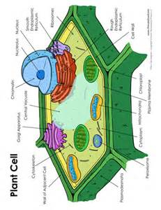 plant cell diagram tim s printables