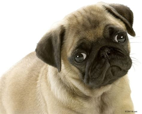 pug ancestry genetic endocrine immune and respiratory genetic disorders in mixed breed dogs