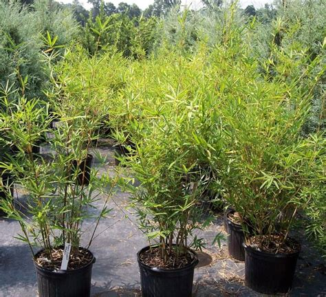 Wholesale Real Trees - 15 best images about tropical plant nurseries wholesale