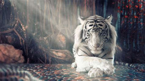 white tiger wallpapers hd wallpapers id