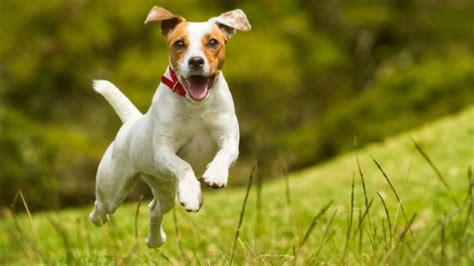 imagenes de un jack russell la mayor 237 a de razas de perro tienen exactamente el mismo