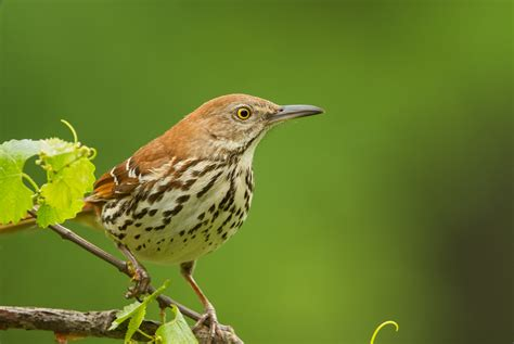 garden birds brown thrasher roads end naturalist