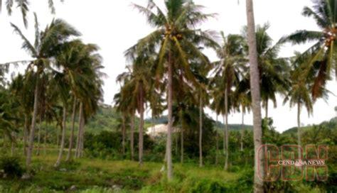 Bibit Kelapa Kopyor Jatim petani tanjungheran kembangkan kelapa kopyor cendana news
