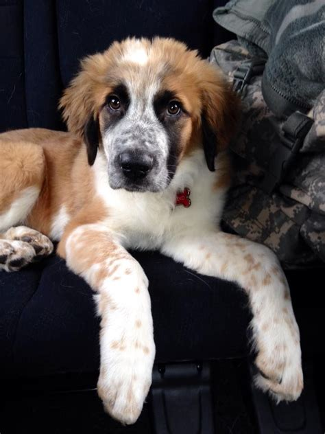 australian setter dog 12 best english setter and great pyrenees mix images on