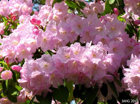 loderi rhododendron name that plant