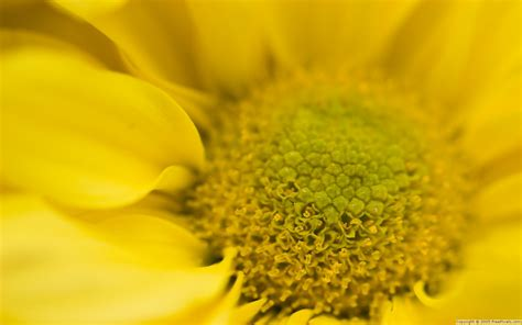foto fiori gialli fiore giallo wallpaperart