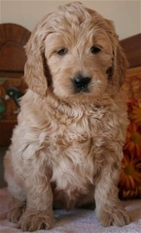 goldendoodle central 150 best goldendoodles images on dogs