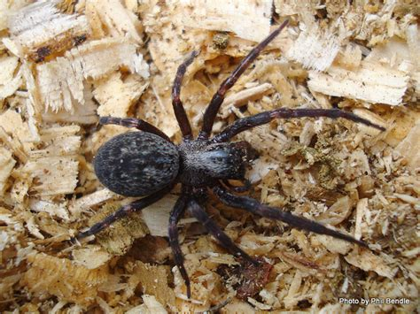 common backyard spiders t e r r a i n taranaki educational resource research