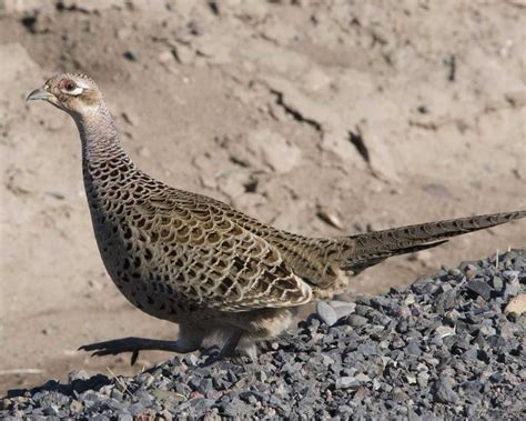 Pheasant L by Ring Necked Pheasant Audubon Field Guide