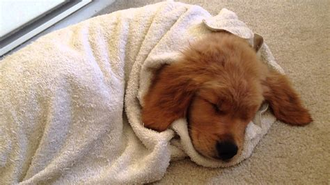 golden retriever puppies sleeping golden retriever puppy snuggling and sleeping after a