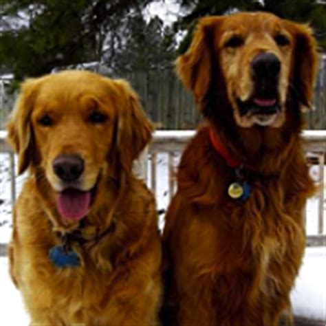 new jersey golden retriever rescue golden retriever rescue adoptions