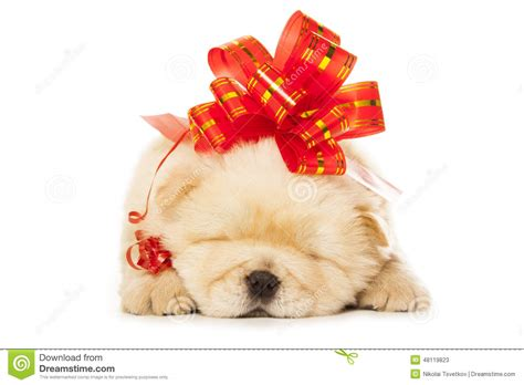 puppy with bow chow chow puppy with big bow stock photo image 48119823