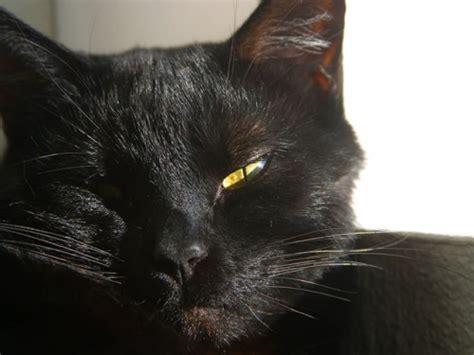 Black Cat T L Ld 86 Cm hd animals black cats