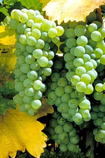manfaat buah anggur  tau