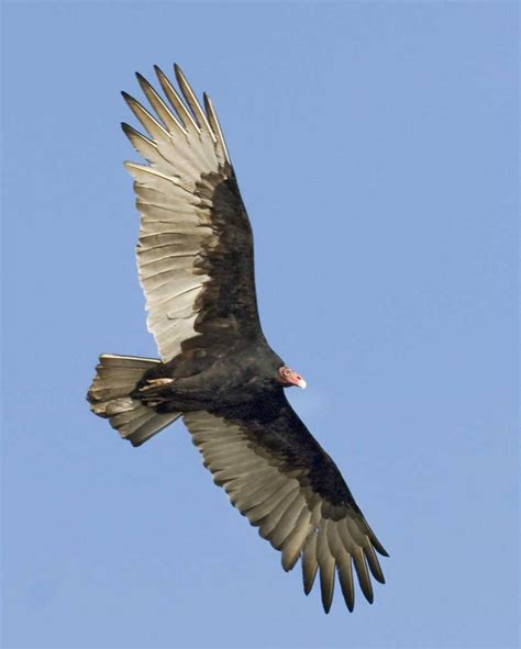turkey vulture audubon field guide