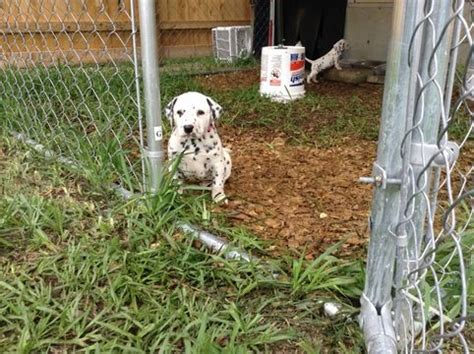 dalmatian puppies for sale florida top 25 best dalmatian puppies for sale ideas on dalmatians for sale