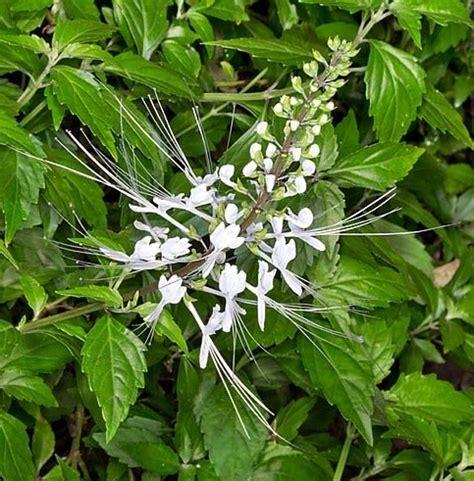 tanaman herbal penakluk asam urat  mengobati