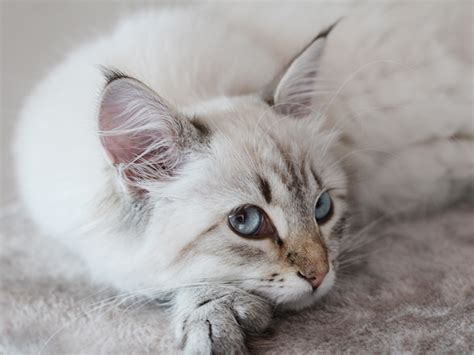 beautiful kittens lynx point kitten the most beautiful cat i have ever seen