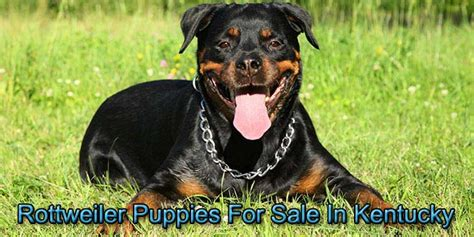 rottweiler puppies in kentucky rottweiler puppies for sale in kentucky