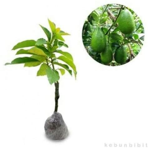 Bibit Alpukat Tanpa Biji tanaman buah alpukat tanpa biji angetmas toko