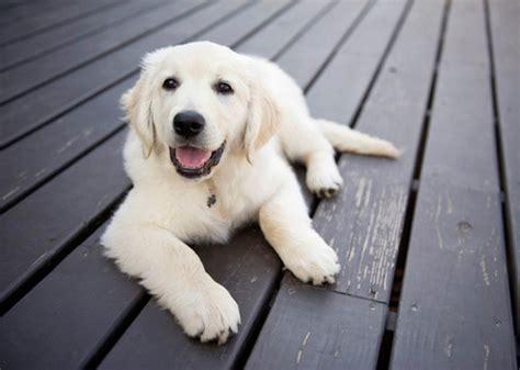 are golden retrievers intelligent 5 smartest breeds chosen by veterinary professionals