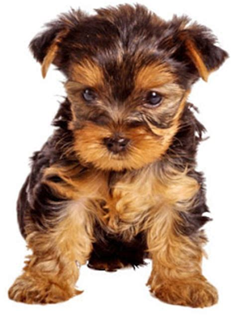 Do Yorkie Chihuahua Mix Shed by Can T Hear U Thoughts New Addition To The Romo Family
