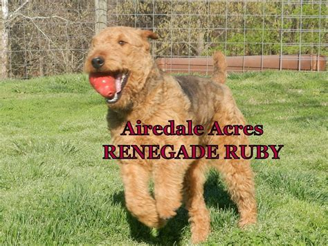 breed mass airedale terrier breeders massachusetts dogs our friends photo