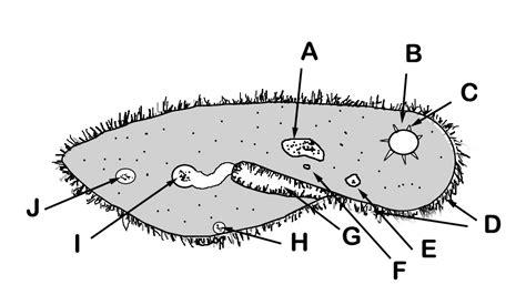 diagram of paramecium paramecium drawing related keywords suggestions