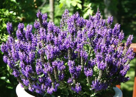 best garden perennials salvia marcus meadow sage youtube