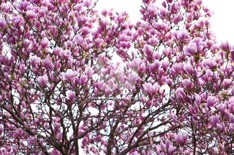 saucer magnolia tree facts saucer magnolias saucer