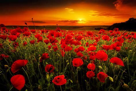 poppy field  sunset fond decran  arriere plan