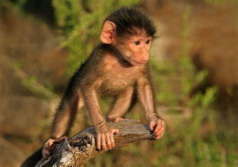 Baby Chacma Baboon | Volunteering | Wildlife Conservation ...