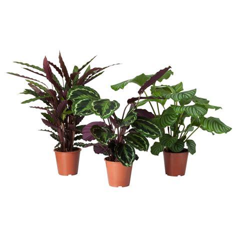 calathea potted plant calathea assorted  cm plants