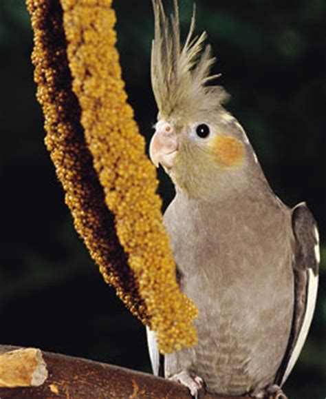 your bird and millet seed