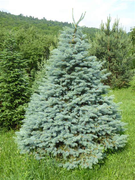 best christmas tree species tree varieties kenburn orchards