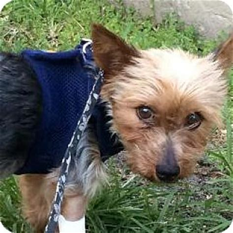 ok yorkie rescue ft myers fl yorkie terrier meet a for adoption