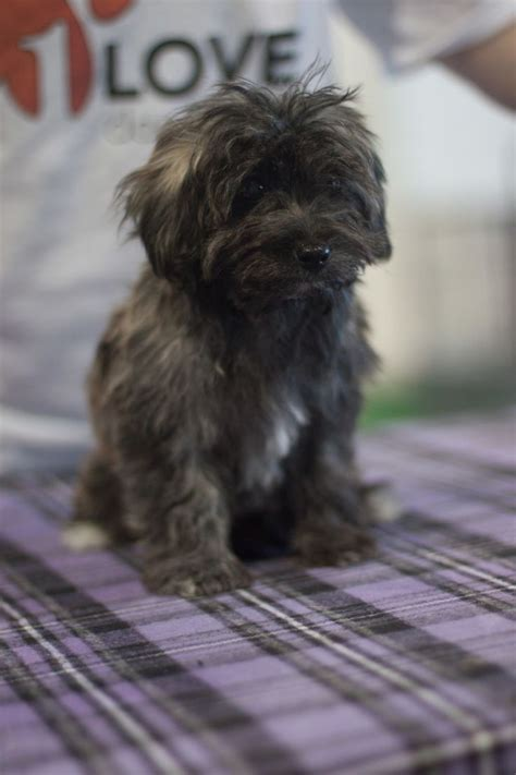 shih tzu puppies for adoption in sacramento ca 17 best images about rescue pups dogs on australian shepherd mix poodles
