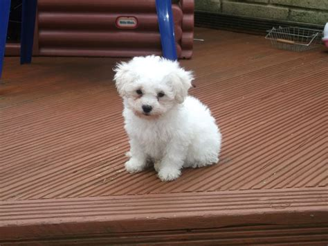 bichon shih tzu mix expectancy zuchon shichon teddy mix between bichon and shih tzu