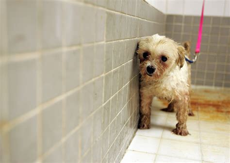 puppy mill rescue to fight puppy mills should cities shut pet stores the opinion zone