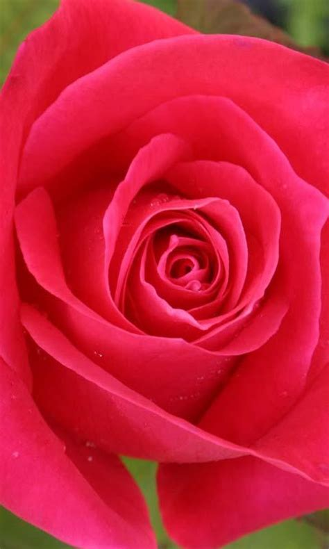 love rose  wallpaper android apps  google play