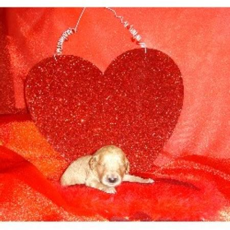yorkie puppies for sale clearwater fl lizziesdoodles goldendoodle breeder in clearwater florida