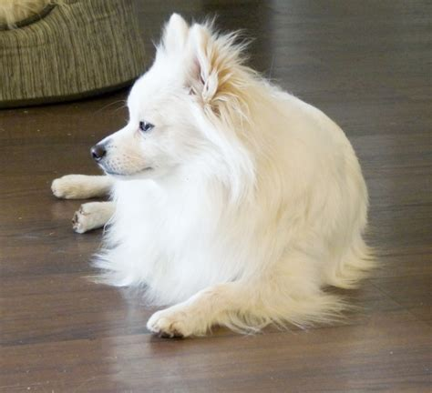 are pomeranians expensive pomeranian of white color described links to white pomeranian for sale