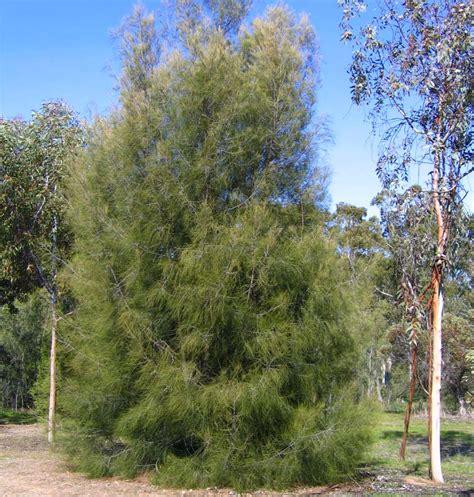 How To Light Firewood Gardensonline Casuarina Cunninghamiana