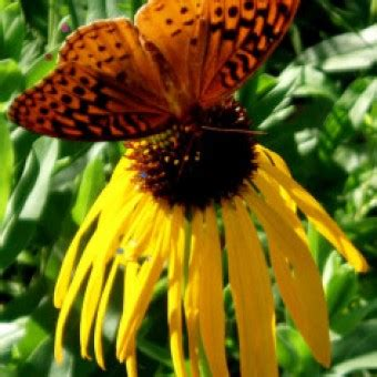 Kebun Bibit Tanaman Yellow Mussaenda benih yellow coneflower 10 biji non retail bibitbunga