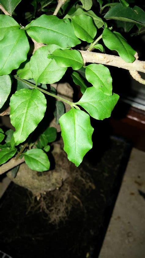 gr npflanze gro e bl tter bonsai verliert bl 228 tter bonsai verliert bl tter was ist