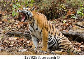 tigre seduta indischer archivi immagini e foto 123 indischer 232