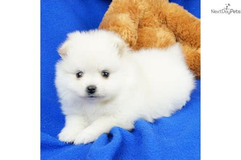 pomeranian boo price pomeranian puppy for sale near springfield missouri ddc6ddbc aae1